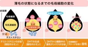 毛母細胞の変化